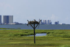 Bird's Nest in the Marshes with City in the Background. A bird's nest in the NJ Salt Marshes with a city skyline in the distant background Stock Image