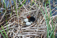 Bird's nest in natural habitat. royalty free stock photography