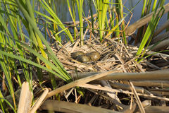 Bird's nest in natural habitat. Royalty Free Stock Photography