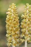 Bird's Nest Orchids Royalty Free Stock Photos