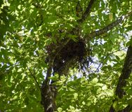 Bird's nest on a tree in the crown of branches. stock photography