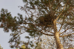 Bird's nest in a tree. Bird's nest in a pine tree branches in autumn city park Stock Images