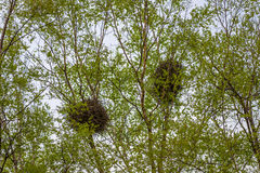 Bird's nests. Bird's nests in the branches Stock Photos