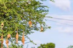 Bird`s nests on the tree, Puttaparthi, Andhra Pradesh, India. Copy space for text. Stock Photos