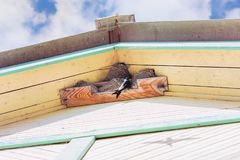 Swallows Grow Chicks In Nests Under The Roof Of A Village House Royalty Free Stock Photo
