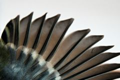 Birds wing and feather. Detail stretched wings and bird feathers Royalty Free Stock Photography