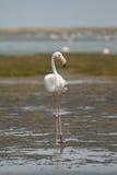Bird safari. Wild flamingo bird, safari Walvis Bay, Namibia Stock Photography
