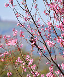 Bird on Sakura tree Stock Image