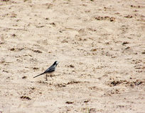 Bird on sand Royalty Free Stock Image