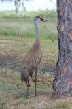 Bird - Sandhill Crane. A sandhill crane stands near a drying canal stock photos