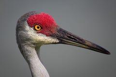 Bird, Sanhill Crane, Day, Florida, USA Stock Photo