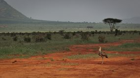 A marching wild bird in Tsavo East National Park in Kenya royalty free stock photo