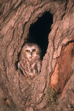 Bird Saw whet owl Royalty Free Stock Photography