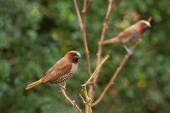 Bird, Scally-breasted Munia (Lonchura punctulata) Royalty Free Stock Images