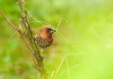 Bird, Scally-breasted Munia (Lonchura punctulata). Perching on bush Stock Photography
