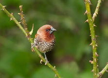 Bird, Scally-breasted Munia (Lonchura punctulata) Royalty Free Stock Photos