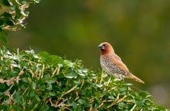 Bird, Scally-breasted Munia (Lonchura punctulata) Royalty Free Stock Photo