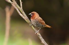 Bird, Scally-breasted Munia (Lonchura punctulata) Royalty Free Stock Photography