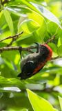 Bird (Scarlet-backed Flowerpecker) in nature wild. Bird (Scarlet-backed Flowerpecker, Dicaeum cruentatum) male black color with red streak down its back perched Royalty Free Stock Images