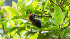 Bird (Scarlet-backed Flowerpecker) in nature wild. Bird (Scarlet-backed Flowerpecker, Dicaeum cruentatum) male black color with red streak down its back perched Stock Photos