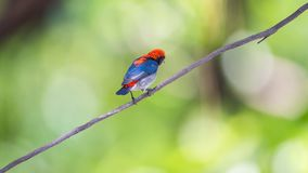 Bird (Scarlet-backed Flowerpecker) in nature wild. Bird (Scarlet-backed Flowerpecker, Dicaeum cruentatum) male black color with red streak down its back perched Royalty Free Stock Photo