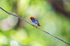 Bird (Scarlet-backed Flowerpecker) in nature wild. Bird (Scarlet-backed Flowerpecker, Dicaeum cruentatum) male black color with red streak down its back perched Stock Photo