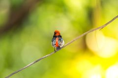 Bird (Scarlet-backed Flowerpecker) in nature wild. Bird (Scarlet-backed Flowerpecker, Dicaeum cruentatum) male black color with red streak down its back perched Royalty Free Stock Photography