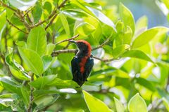Bird (Scarlet-backed Flowerpecker) in nature wild. Bird (Scarlet-backed Flowerpecker, Dicaeum cruentatum) male black color with red streak down its back perched Stock Image