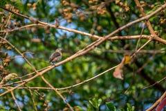 Bird (Scarlet-backed Flowerpecker) on a tree Stock Photos