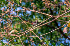 Bird (Scarlet-backed Flowerpecker) on a tree Royalty Free Stock Photography