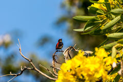 Bird (Scarlet-backed Flowerpecker) on a tree. Bird (Scarlet-backed Flowerpecker, Dicaeum cruentatum) male black color with red streak down its back perched on a Stock Photography