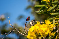 Bird (Scarlet-backed Flowerpecker) on a tree. Bird (Scarlet-backed Flowerpecker, Dicaeum cruentatum) male black color with red streak down its back perched on a Royalty Free Stock Image