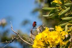 Bird (Scarlet-backed Flowerpecker) on a tree Stock Photo