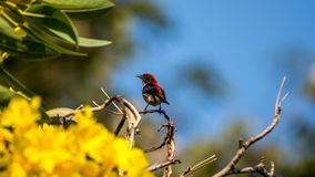 Bird (Scarlet-backed Flowerpecker) on a tree. Bird (Scarlet-backed Flowerpecker, Dicaeum cruentatum) male black color with red streak down its back perched on a Royalty Free Stock Images