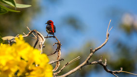 Bird (Scarlet-backed Flowerpecker) on a tree. Bird (Scarlet-backed Flowerpecker, Dicaeum cruentatum) male black color with red streak down its back perched on a Stock Images