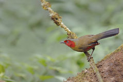 Bird (Scarlet-faced Liocichla or Red-faced Liocichla) Royalty Free Stock Photo