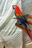 Bird, Scarlet Macaw Stock Image