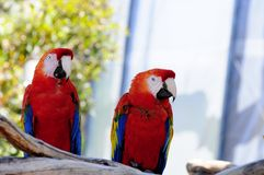 Bird, Scarlet Macaws Stock Photo