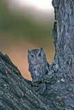 Bird-Screech owl Stock Images
