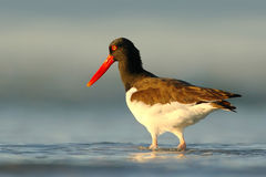 Bird in the sea coast. Oystercatcher, Heamatopus ostralegus, water bird in the wave, with open red bill,Norway. Sea bird with even Royalty Free Stock Image