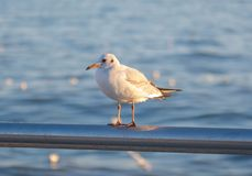Bird by the sea, seagull Royalty Free Stock Photos