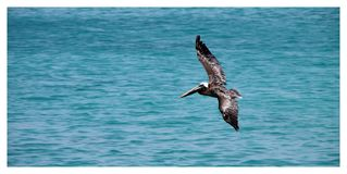 Bird, Seabird, Fauna, Sea Stock Photography