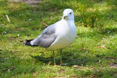 Bird, Seabird, Gull, Beak stock image