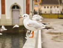 Bird, Seabird, Gull, Beak royalty free stock photography