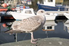 Bird, Seabird, Gull, European Herring Gull royalty free stock photos