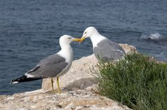 Bird, Seabird, Gull, European Herring Gull stock image
