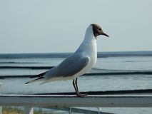 Bird, Seabird, Gull, Fauna royalty free stock image