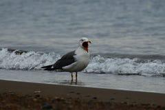 Bird, Seabird, Gull, Wave stock photos