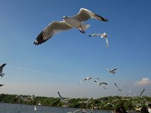 Bird, Seabird, Sky, Gull royalty free stock photography