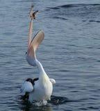 Bird, Seabird, Water, Pelican royalty free stock photos